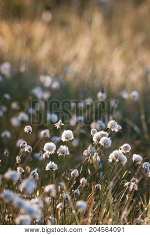 Cotton grass at morning sunlight in forest