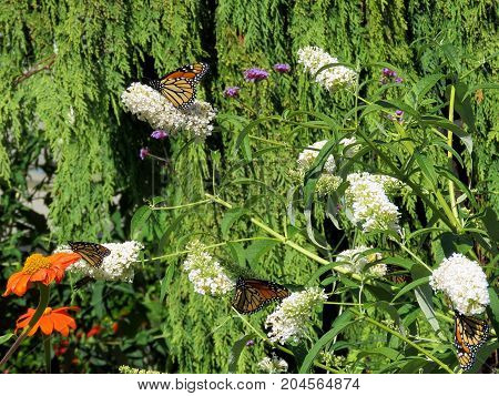 Monarch butterflies and beautiful flowers in garden on bank of the Lake Ontario in Toronto Canada September 12 2017