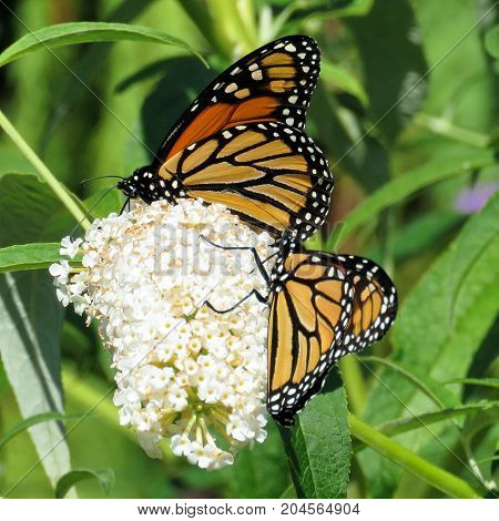 Two Monarch butterflies in garden on bank of the Lake Ontario in Toronto Canada September 12 2017