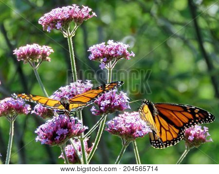 Two Monarch butterflies on a flower in garden on bank of the Lake Ontario in Toronto Canada