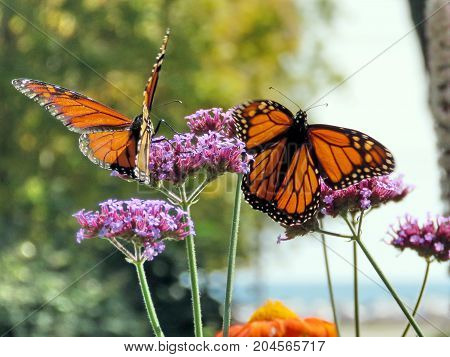 Two Monarch butterflies on a purple flower in garden on bank of the Lake Ontario in Toronto Canada