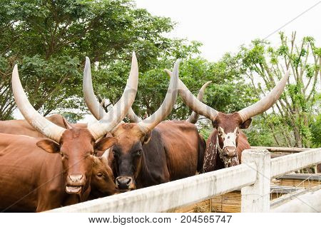 Watusi bull in a farm, longhorns cow