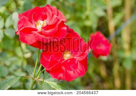 Red roses flower blossom in a garden,decoration flowers