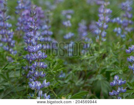 Focus On Purple Lupine On Left
