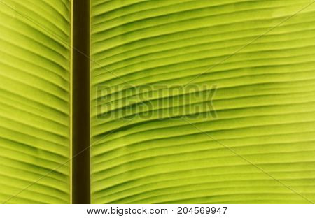 green banana leaf texture for nature background