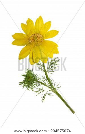 Pressed and dried flowers adonis isolated on white background. For use in scrapbooking pressed floristry or herbarium.