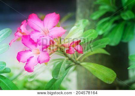 Pink Azalea flowers or impala lily flowers in garden.