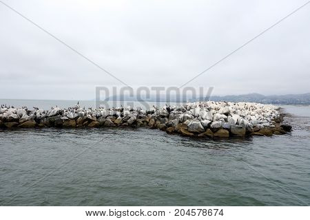 California Brown Pelicans all over breakwater near Ventura harbor in port of San Buenaventura Southern California