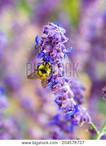 A Honeybee gets pollen from a lilac flower in Colorado.