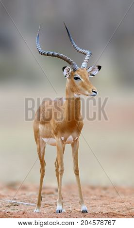 African Impala, Animal In The Nature Habitat