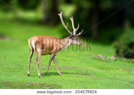 Deer In The Wild. Wildlife Scene From Nature