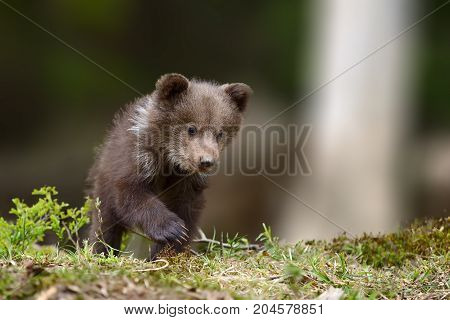 Young Brown Bear Cub In The Fores