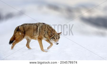 Winter Scene With Danger Wolf Animal