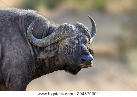 African Buffalo, Big Animal In The Nature Habitat