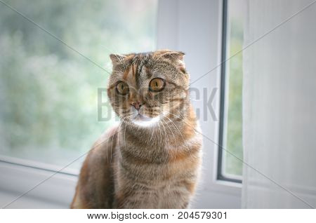 Scottish fold cat sits on the windowsill and looking aside.