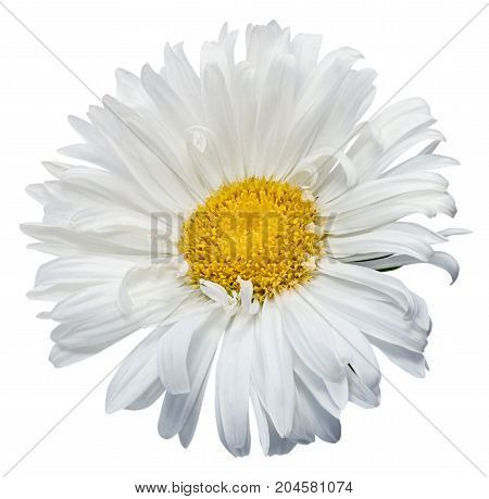 Daisy Chrysanthemum Chamomile Isolated On White Background