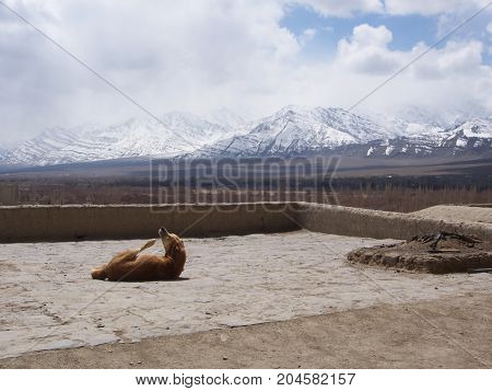 A Lazy Dog In Leh Palace With Snow Mountain View