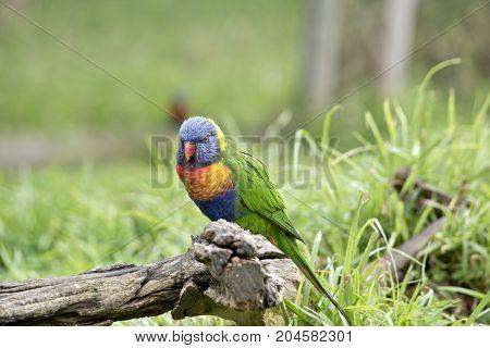 the rainbow lorikeet is sitting on a log