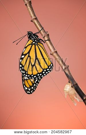 Newly emerged male Monarch butterfly (danaus plexippus) and its chrysalis shell hanging on milkweed branch copy space.