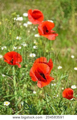 Poppy flowers in spring time on the meadow