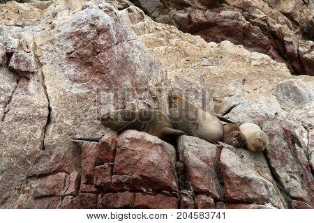 Sea Lions Ushuaia sleeping on Peruvian coast