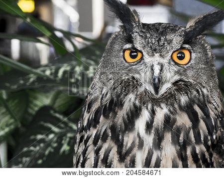 The evil eyes. ( Eagle Owl Bubo bubo).