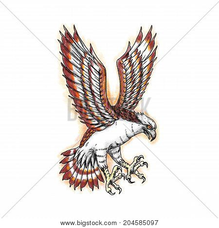 Tattoo style illustration of Osprey Pandion haliaetus also called sea hawk river hawk fish hawk swooping viewed from side.