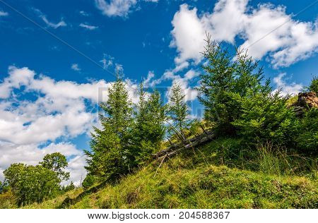 spruce trees on a under the blue sky. beautiful nature unusual viewpoint