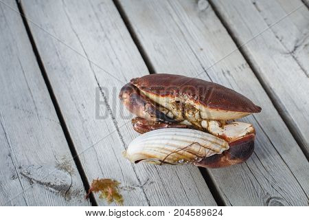 alive crab standing on wooden floor and holding fresh scallop in claw. outdoor shot in norway. copy space.