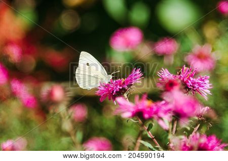 White butterfly collects nectar from a flower