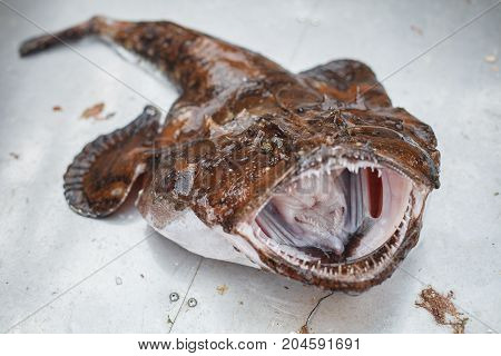 freshly caught scary big raw angler fish with opened mouth. outdoor shot in Norway. copy space.