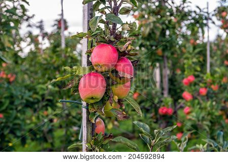 Closeup of bright red apples in a modern Dutch apple orchard with low espaliers. It is in the late summer season now.