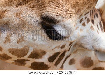Close up of beautiful modest giraffe eye