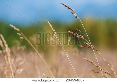 The background of feather grass. Nature fields and steppes of Europe.
