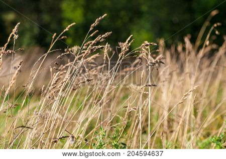 Background of feather grass, nature fields and steppes of Europe.