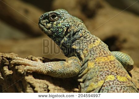 Uromastyx ornata, commonly called the ornate mastigure, is a species of lizard in the family Agamidae. The species is endemic to the Middle East.