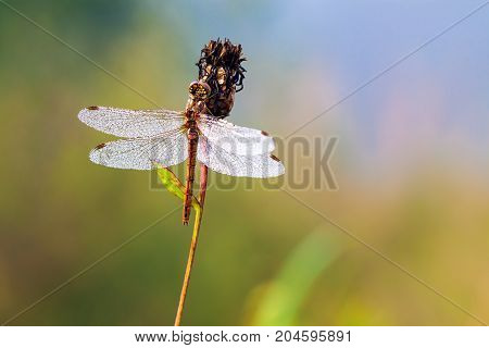 beautiful dragonfly early in morning at sunrise on summer meadow. dew drops on wings of a dragonfly