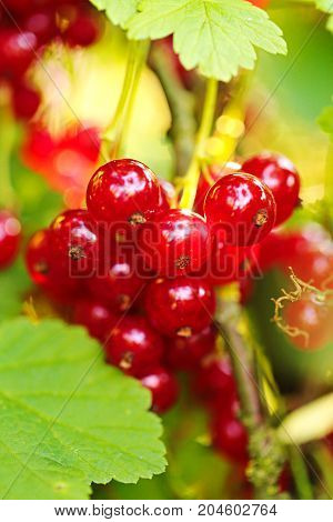 a bunch of red currant berries  in the morning light on a  green background. Red currant harvest season