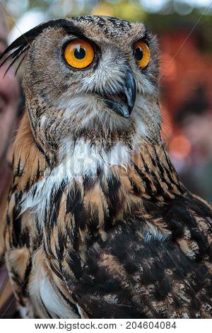 Buff Eurasian Eagle-owl with Orange Eyes, Birds Theme