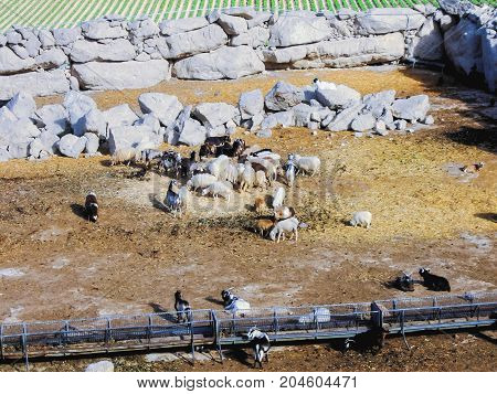 Flock Of Sheep Led By Goats Uphill