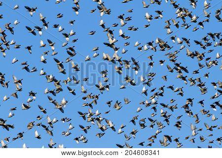 murmuration starlings on blue sky , wildlife, unique frames
