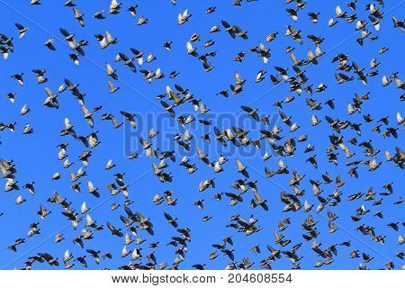 pirouettes starlings in the sky , wildlife, unique frames