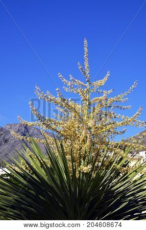 Blooming Dracaena draco tree in the park of Tenerife,Canary Islands,Spain.Dragon tree on a blue sky background.
