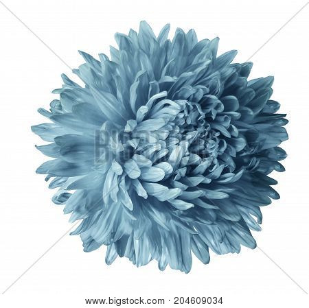 Light turquoise aster flower isolated on white background with clipping path. Closeup no shadows. Nature.