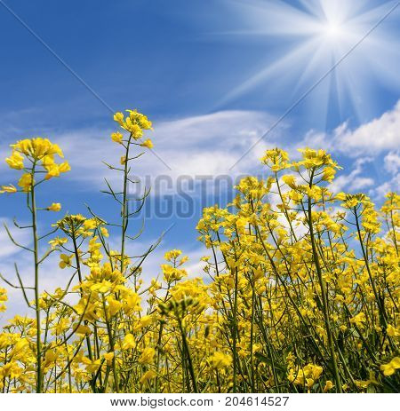 Yellow oil rape seeds in bloom Early Spring in nature in sun light at day time