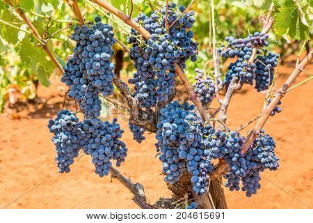 Grape plant with bunches of blue grapes in vineyard