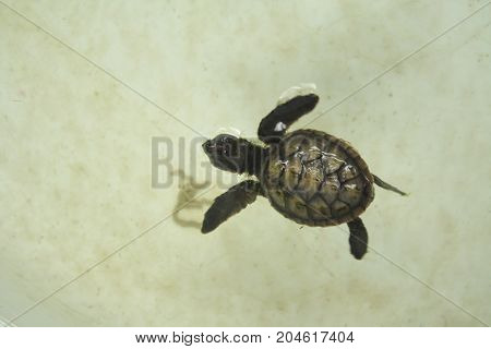 Little baby sea turtle is swimming in a turtle conservation tank