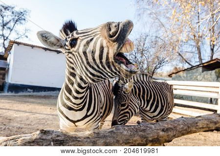Funny Laughing Zebra
