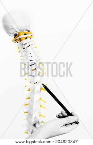 Doctor Showing A Vertebra In The Skeleton. Back Pain In Silhouette Isolated On White Background. Col