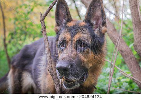 German shepherd dog in sunny autumn day